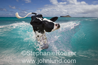 A Holstein Dairy Cow is riding a surfboard on a wave in a funny cow photo for a greeting card.