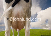 Cose up photo of a cow's udder. One of our funny cow images, part of a series featuring Holstein cattle. The camera is right up close tight on a dairy cow's full bulging udder. Time for milking has arrived.