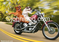 A bulldog and an Irish setter ride a harley Davidson motorcyle in this funny dog picture of freedom and the open road! Pics of dogs on bikes... Biker dogs.