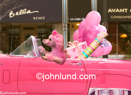 Funny animal picture and stock photo of a Pink Poodle Driving A Pink Ford Thunderbird filled with gifts and packages...all pink! Funny greeting card.