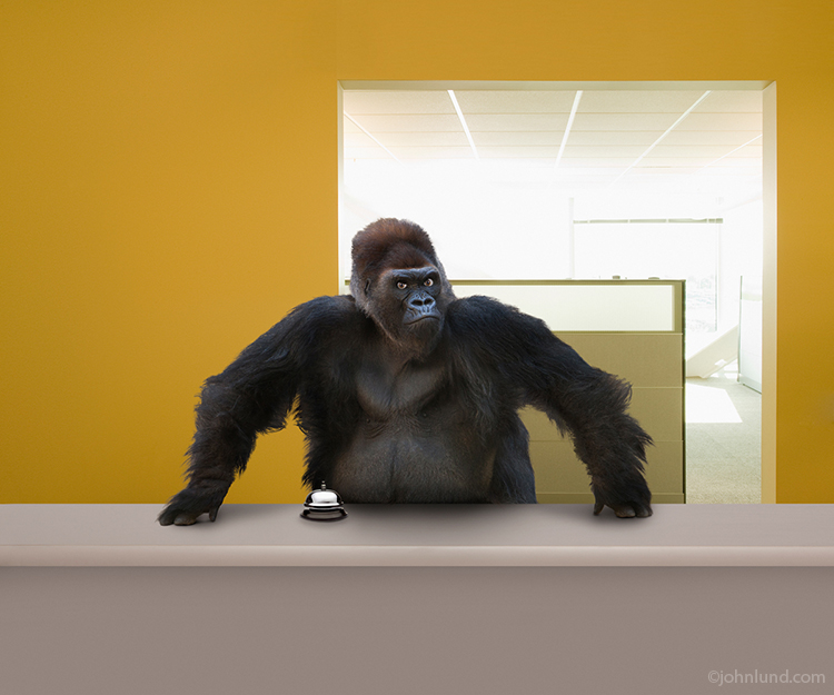 A menacing gorilla stands behind a help desk daring you to ring the service bell in this funny ape picture.