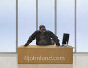 A gorilla stands behind the desk of a corporate CEO or president in this funny picture about business leadership.
