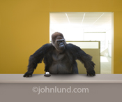 An angry looking gorilla stands menacingly behind a service or help desk in front of a service bell daring the viewer to ring for help in a funny gorilla picture.