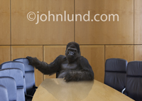 A gorilla sits at the head of the board room table in this funny gorilla picture depicting the power of a corporate CEO or chairman of the board.