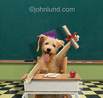 Funny picture of a dog in a classroom holding up a diploma and wearing a graduation cap created for a humorous greeting card and available as a stock photo.