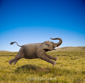 An elephant gallops in joy across a grassy plain in this funny elephant photo about freedom and fun.