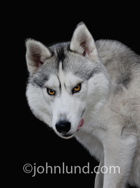 A sinister predator licks his chops in this funny wolf picture.