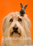 Stock picture of a dog with a little gray hare (rabbit) sticking up over his head...a humorous birthday greeting image. A funny animal antics picture.