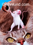 Funny animal stock photo of a mouse riding a bucking Cat and holding out his cowboy hat to help him keep his balance. Picture of funny mouse.