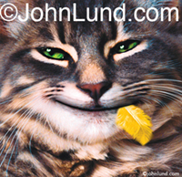 Funny cat pix of a cat with a canary feather sticking out of its smiling mouth. This was my first Animal Antics Greeting Card.