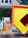 Pictures of a cute Pomeranian dog using a dolly to move  his dog house to a new neighborhood: Moving Greeting Card.