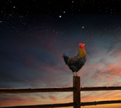 A rooster crows at the crack of dawn in a concept stock photo about time, work ethic, announcements and promotional efforts. A rooster crowing symbolizes a wide range of business and personal concepts and ideas.