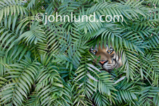 A Tiger peers out between the fronds of tropical jungle foliage in this image about risk, danger and challenge.