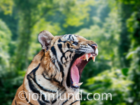 A Tiger in the jungle bares his teeth and snarls in this picture of risk, danger, strength and beauty.