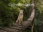 A Cheetah sits on a suspension foot bridge in a jungle setting blocking passage and the way forward.