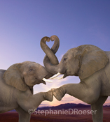 Funny Picture of two elephants in love with trunks entertwined in a heart shape expressing romance and togetherness.  Romantic elephant picture.