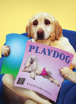 Funny dog and stock photo of a yellow lab reading playdog magazine in a parody of playboy magazine...you dog!