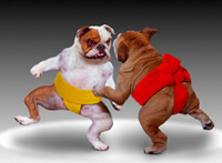 Funny animal picture of sumo wrestling bulldogs. They wear the traditional sumo uniform as they square off against each other. Silly pictures of dogs.