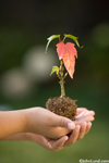 A child's hands hold a potted seedling ready to plant. Picture of young hands cupping a tiny plant ready for planting. Pictures of green acts by people.