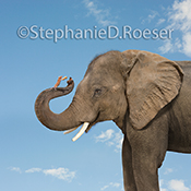 A mouse stands on an Elephant's trunk offering him a peanut in friendship in this funny animal photo.